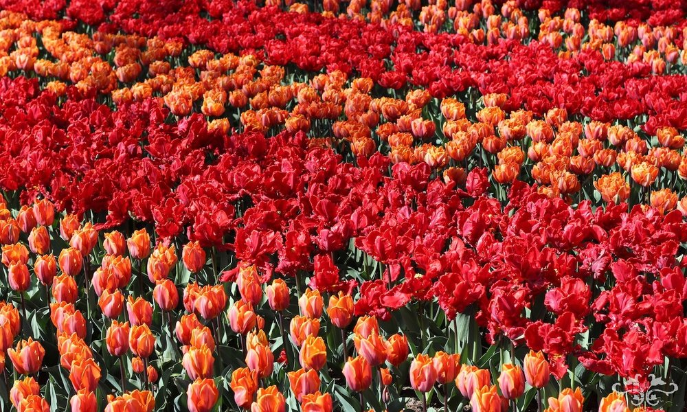 Sourcing flowers in Holland is an inspirational experience