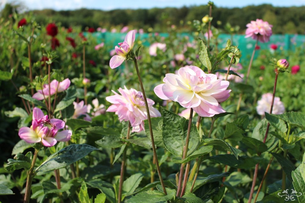 New breeds of Dahlia being created at Geerlings