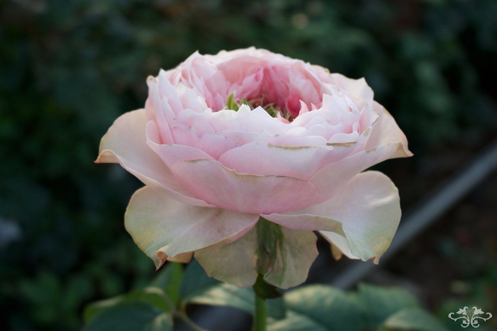 Bloomsbury Rose, garden shape with a minor grass heart and delightful fragrance