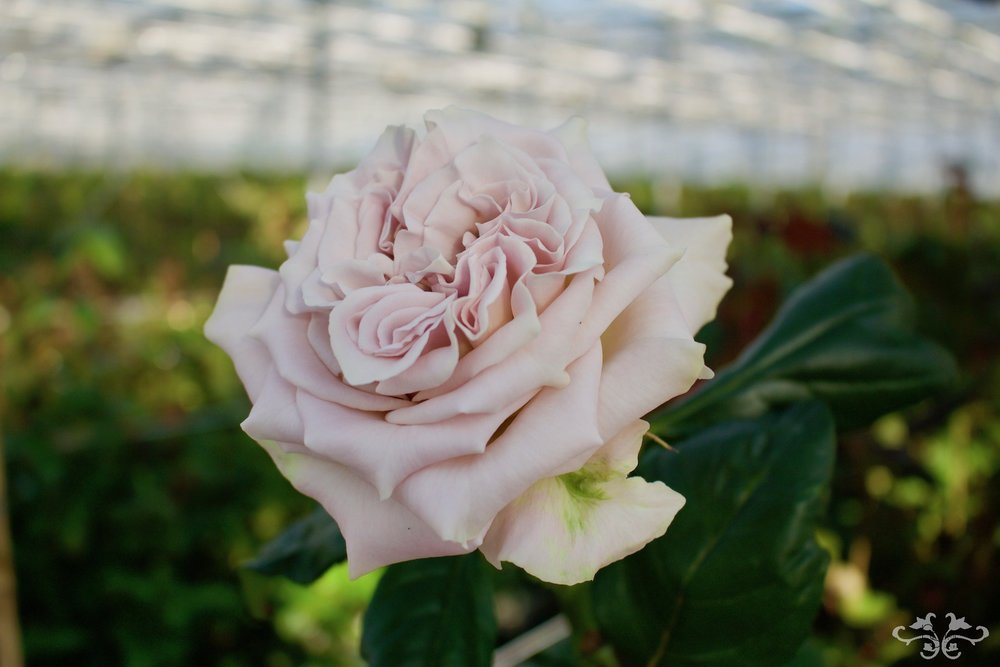 The new Westminster Abbey Rose has a classic Rose shape and a subtle scent