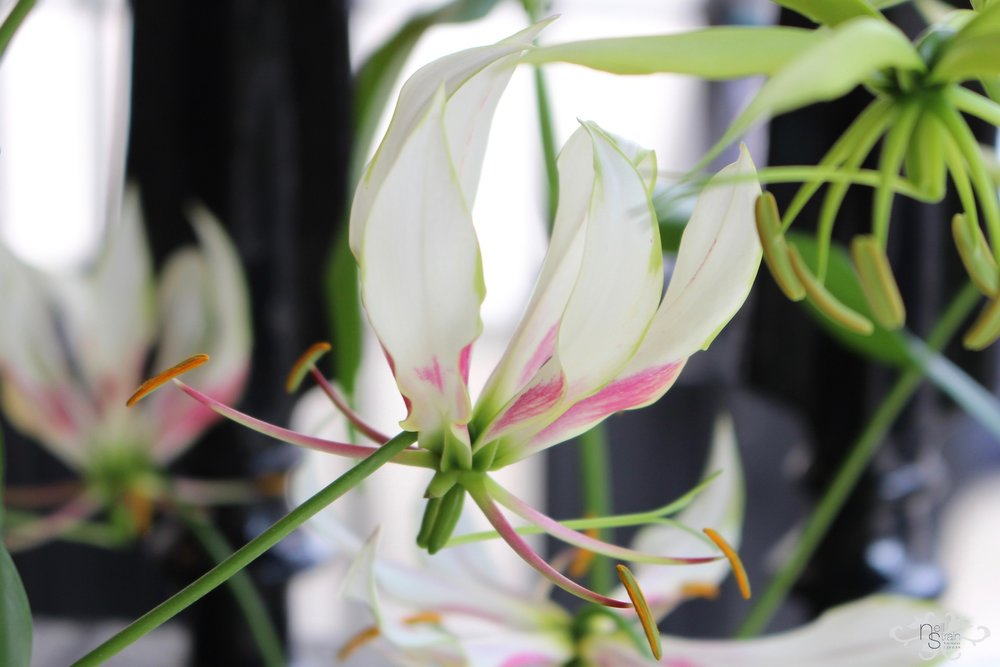 """Dutch White Gloriosa """"Maria"""" was first discovered in 2008"""