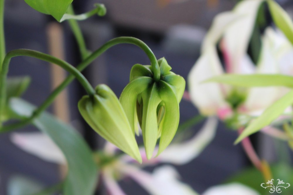 """White Gloriosa """"Maria"""" in bud, with the petals facing downwards"""