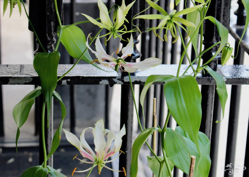 """""""Maria"""" White Gloriosa flowers blooming on the plant"""
