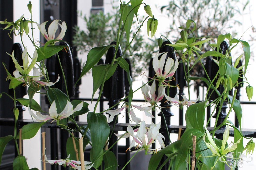 """White Gloriosa """"Maria"""" flowering at Neill Strain Floral Couture exclusively for Harrods"""