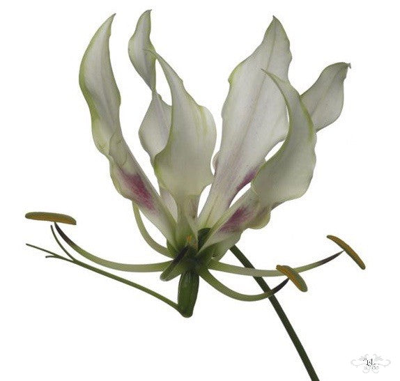 """""""MARIA"""" WHITE GLORIOSA by NEILL STRAIN FLORAL COUTURE for HARRODS"""