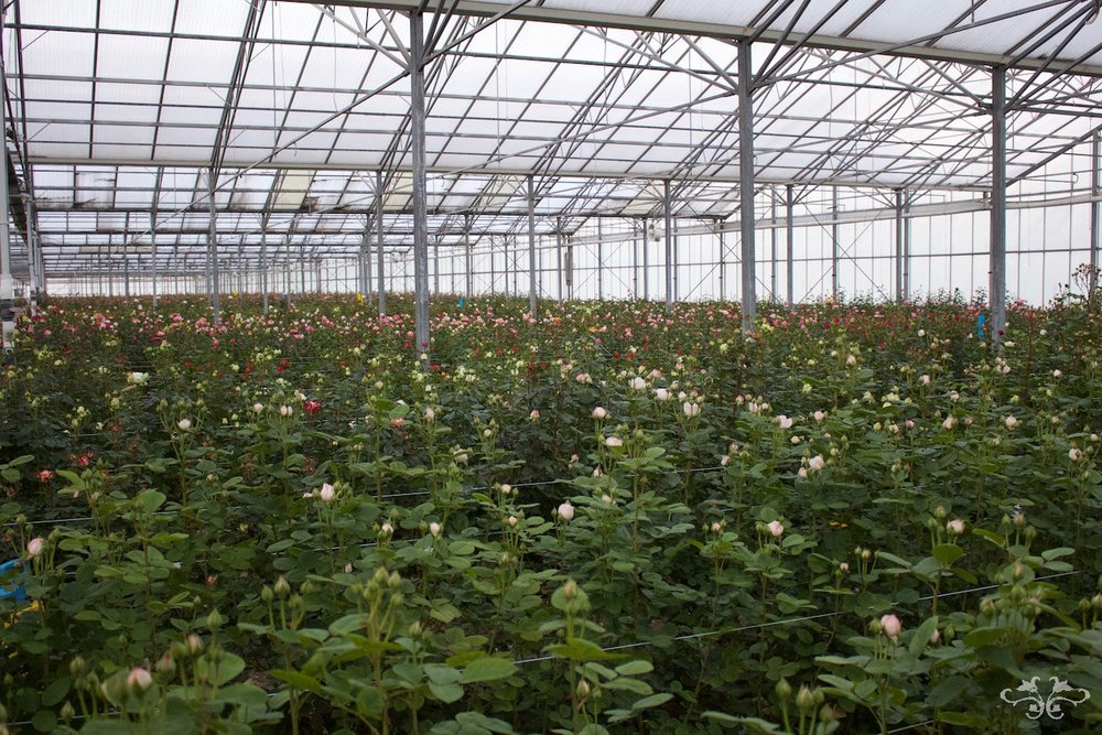 A wide range of VIP Garden Roses growing at the Sassen brothers' glasshouse.