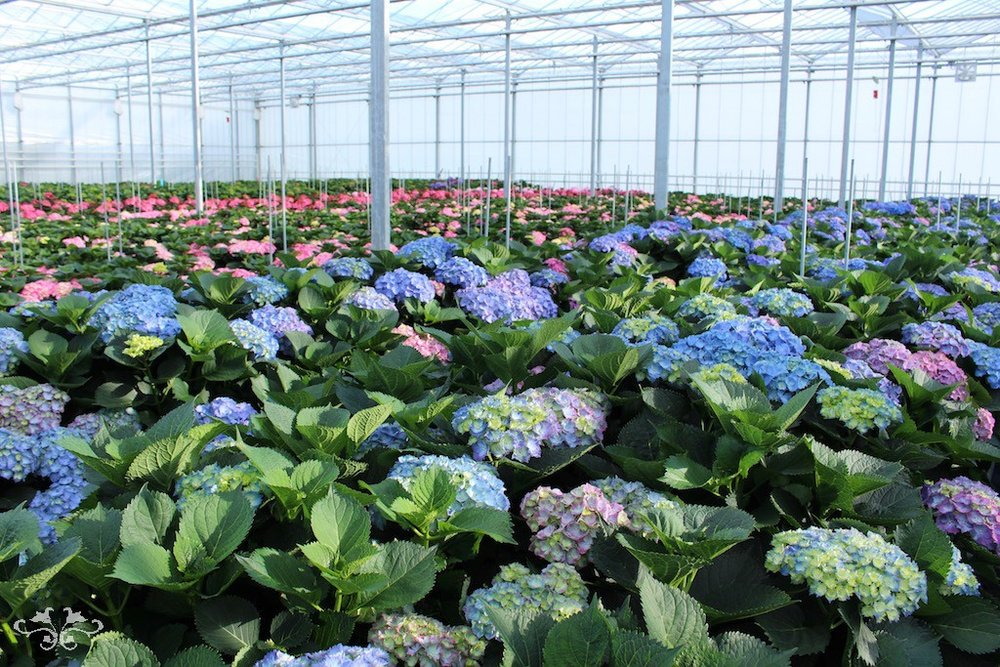 Hydrangeas growing at Sonneveld's glasshouses in Holland