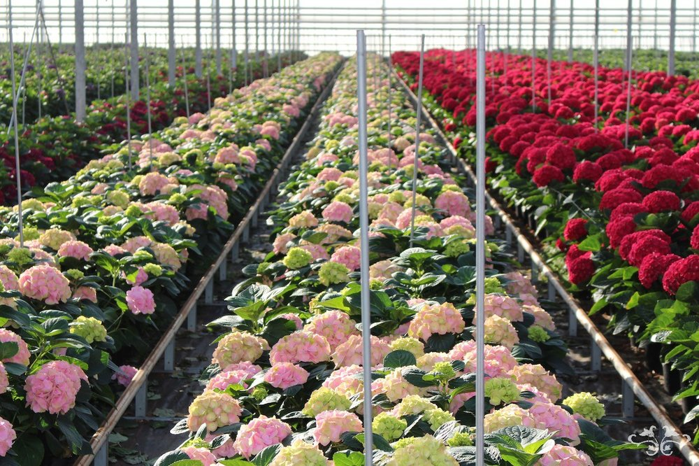 Sonneveld glasshouses, producing spectacular Hydrangeas for Neill Strain Floral Couture