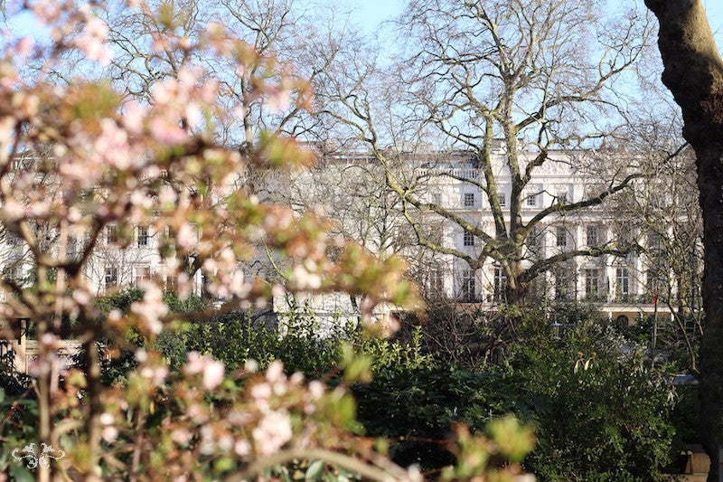 Blossoms blooming in Belgrave Square, a stone's throw from the Neill Strain Floral Couture Belgravia boutique