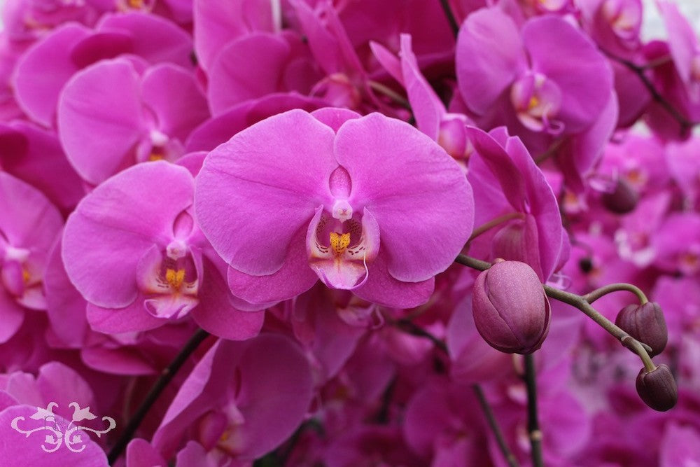 """Phalaenopsis Orchids """"Buffalo"""" grown by Ichtus Flowers for Neill Strain Floral Couture"""