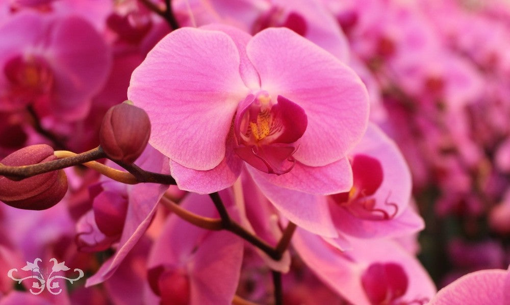 """Phalaenopsis Orchids """"Surabaya"""" growing at Ichtus Flowers in South Holland"""
