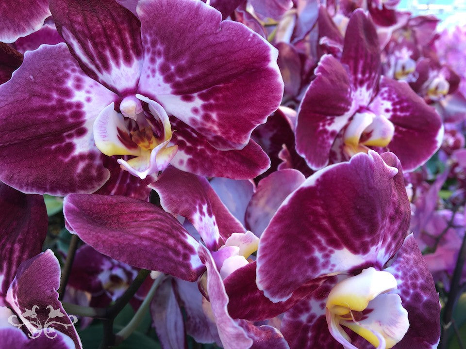 """A new variety of Phalaenopsis Orchids """"Margarita"""" with incredibly rich, textured colours"""