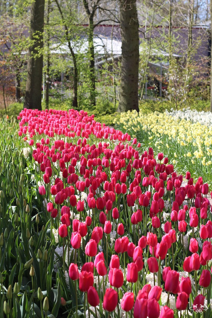 We source rare and very beautiful Tulip varieties from select growers in Holland for our customers