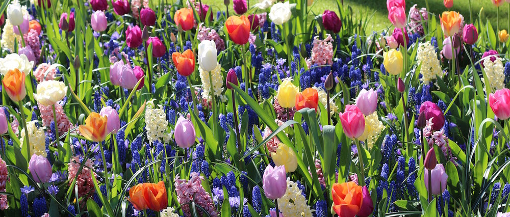 Tulips growing with Muscari and Hyacinths at the Keukenhof Gardens; a marriage that also works well in floral designs.
