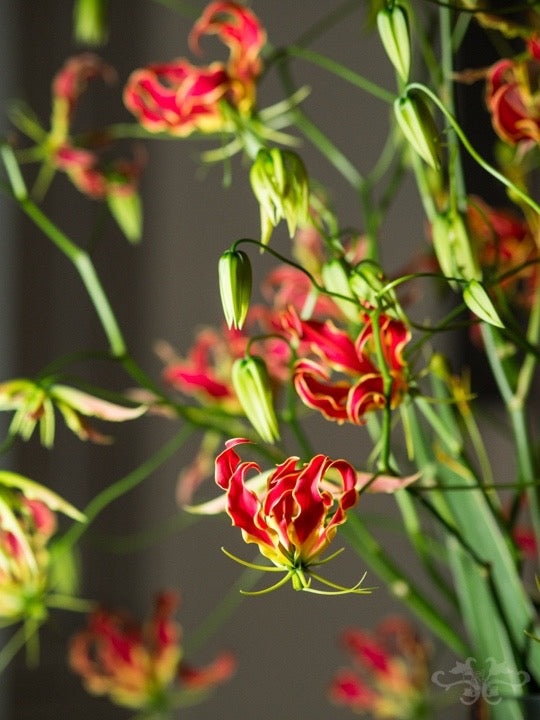 Close up of the Gloriosa flowers reflecting on the glass table