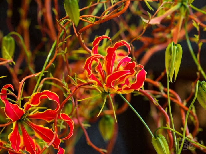 Gloriosa flowers and buds with young spring shoots of Contorted Willow