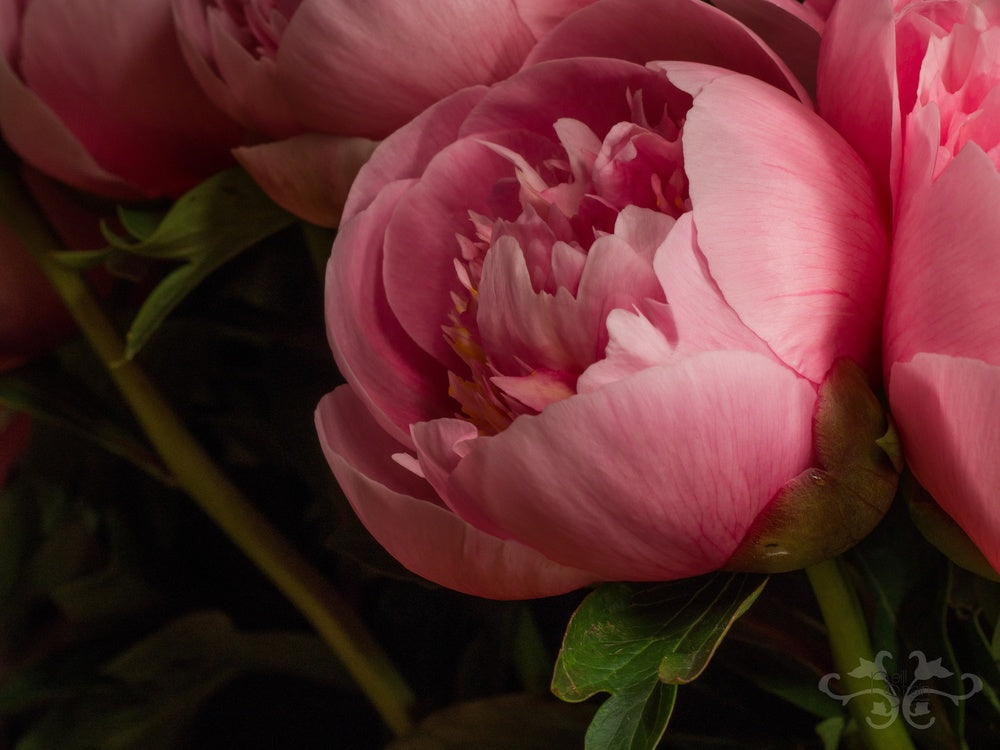"""Peony """"Etched Salmon,"""" Herbaceous hybrid created in 1981, double. Photography: John Nassari."""