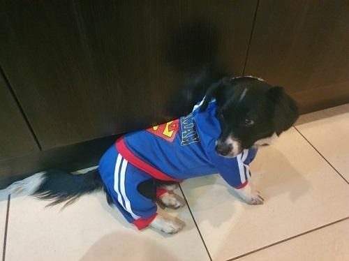Dog wearing a blue Dog Superman Tracksuit