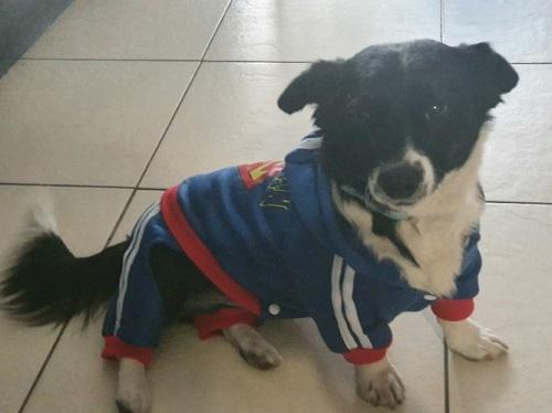 Dog wearing a Dog Superman Tracksuit - Blue