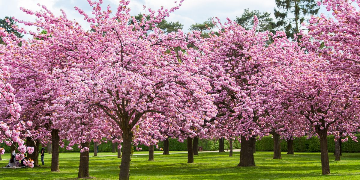 Spring Flowering Trees The Cherry Blossom The Pavilion