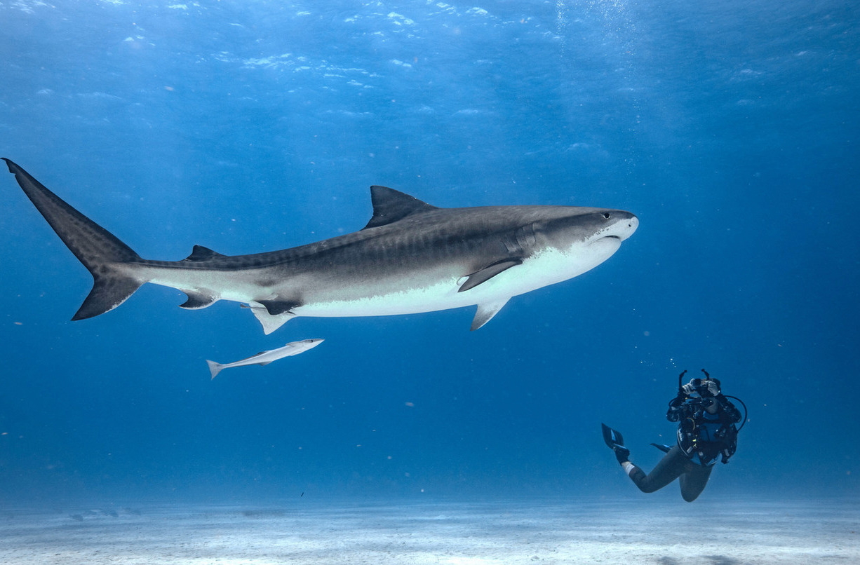 Brynne diving with Tiger Shark