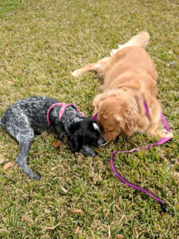 Golden Retriever and French Pointer playing