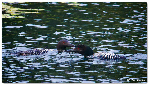 common loons on the water