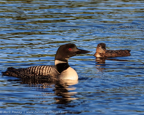 Mother Loon with Her Chick