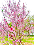 Iowa White Peach seeds, cold hardy pink flowers ornamental fruit bearing rare heirloom native Indian freestone organic, zone 4 5