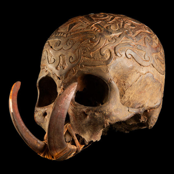Dayak incised skull with 2 boar tusks