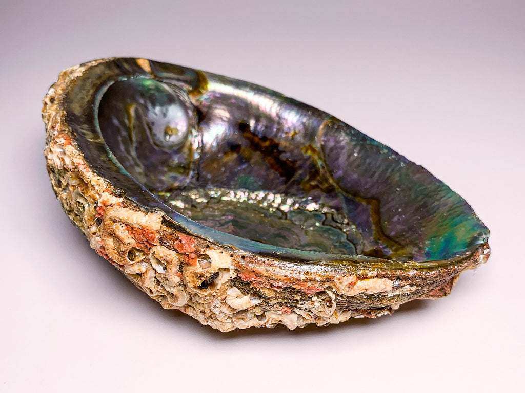 abalone-shell-large