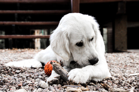 A picture taken by Cede Sebelius of Betty The Golden Retriever