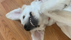 Silly Betty the Golden Retriever picture