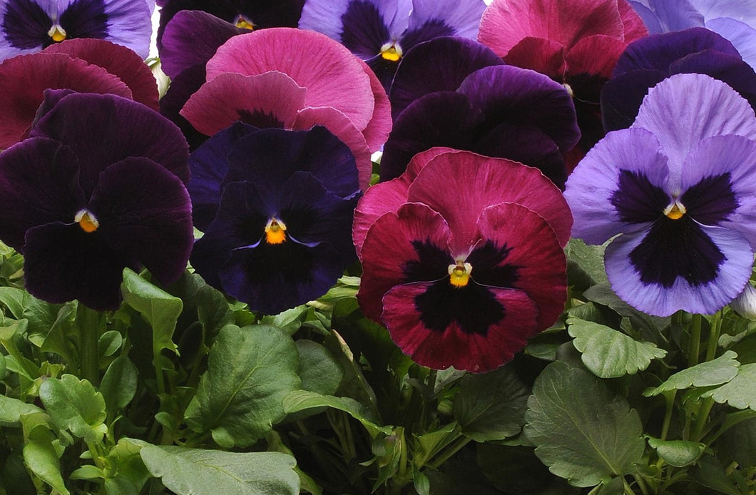Pansy, Matrix Mix Amythest