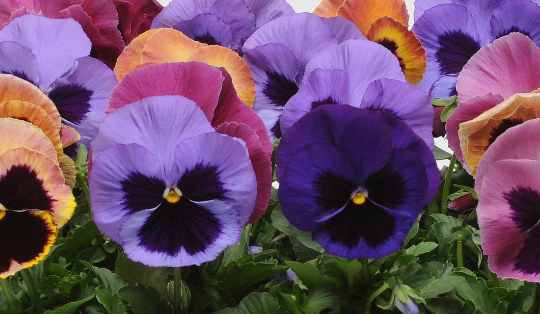 Pansy, Matrix Mix Coastal Sunrise