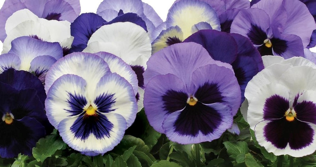 Pansy, Matrix Mix Ocean Breeze