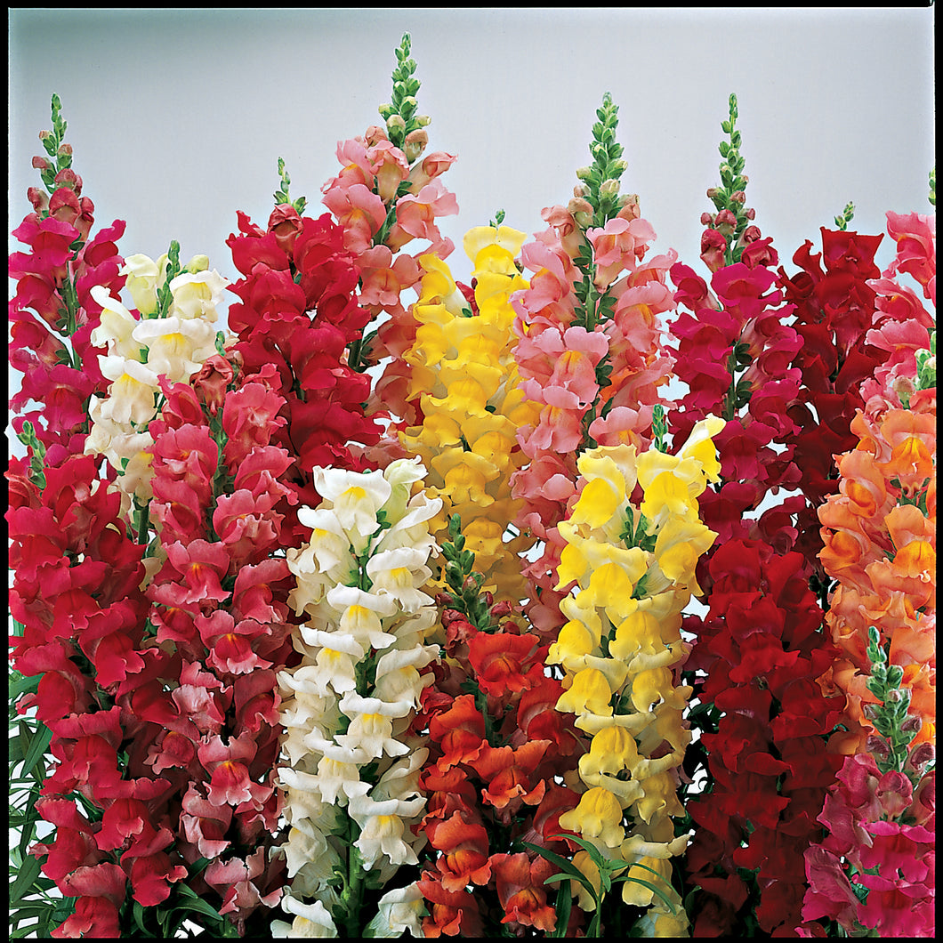 Snapdragon, Liberty Classic Mix