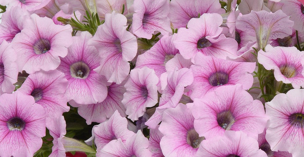Petunia, Shockwave Pink Vein