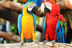 Two parrots perching displaying colours of red, yellow, green and blue.
