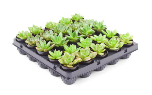 Succulent Plant Mix in 1.75 In. Cell Grower's Tray (25-Plants)