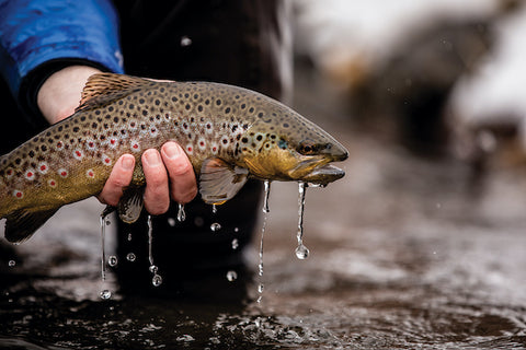 A TRUCKEE RIVER BROWN TROUT PREPARED FOR RELEASE BACK INTO THE RIVER, PHOTO BY SCOTT KEITH, COURTESY TROUT CREEK OUTFITTERS