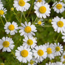 Load image into Gallery viewer, Chamomile (Anthemis nobilis)