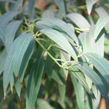 Load image into Gallery viewer, Eucalyptus Radiata (Eucalyptus radiata)
