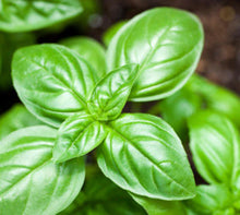 Load image into Gallery viewer, Basil, Sweet  (Ocimum basilicum) NOW Essential Oil