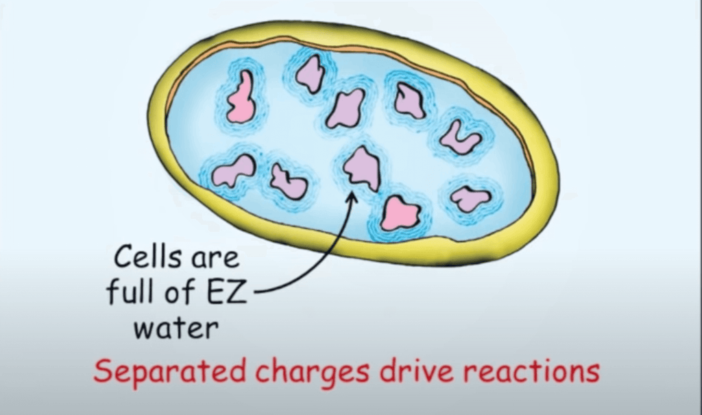 Exclusion water in human cells