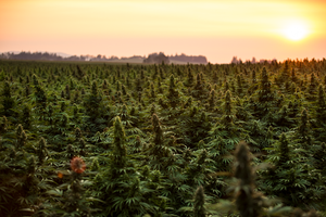 Columbia Hemp Trading Co. | The premier Hemp & CBD processor in the PNW