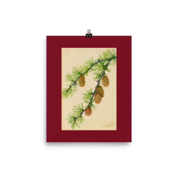 Larix occidentalis (Western Larch) Wildflower Artwork 8x10 Poster - Dingdong's Garden