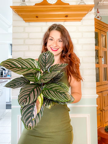 calathea ornata in the hands of the owner mimipots