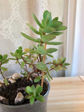 Upload image to gallery, Silver dollar plant