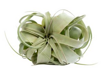 Upload image to gallery, Tillandsias / air plant